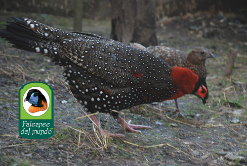 Tragopan Occidental (Tragopan melanocephalus)